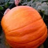 ฟักทองยักษ์ พันธุ์ บิ๊กแม็กซ์ - Big Max Giant Pumpkin