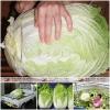 ผักกาดขาวยักษ์ - White Giant Chinese Cabbage F1