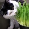 หญ้าแมว - Cat Grass, Wheatgrass