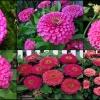 ดอกบานชื่นสีชมพู 15 เมล็ด/ ชุด