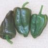 พริกมูลาโต้ - Mulato Isleno Pepper