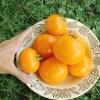 มะเขือเทศ ซันเรย์ - Sunray Tomato