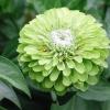 ดอกบานชื่นสีเขียว - Green Envy Zinnia Flower