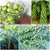 (Big Pack) กะหล่ำดาว - Brussels Sprout