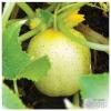 แตงกวาเลม่อน - Lemon Cucumber