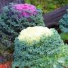 ปูเล่ประดับ คละสี - Ornamental Cabbage