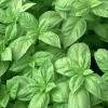 โหระพาใบใหญ่ - Italian Large Leaf Sweet Basil