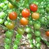 มะเขือเทศ เชอรี่สวีทตี้ - Cherry sweetie Tomato
