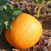 ฟักทองฮาโลวีน พันธุ์คอนเนคติคัท ฟิลด์ - Connecticut Field Pumpkin