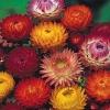 ดอกเฮลิคริซั่ม 30 เมล็ด/ชุด