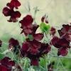 """ดอกสวีทพี สเปนเซอร์ """"โบโชเล่"""" 5 เมล็ด/ชุด"""