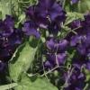"""ดอกสวีทพี สเปนเซอร์""""บลู เวลเว็ท"""" 5 เมล็ด/ชุด"""