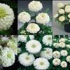 ดอกบานชื่น สีขาว 15 เมล็ด/ชุด
