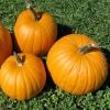 ฟักทองแมมมอธ - Mammoth Gold Pumpkin