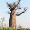 ต้นไม้ยักษ์(เบาบับ)พันธุ์ซ่า - Adansonia Za Baobab