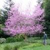 เรดบัด - Redbud Tree