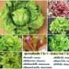 ชุดรวมผักสลัด 7 ชนิด - Salad Set 7 in 1
