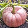 ฟักทองสีชมพู - Pink Pumpkin Porcelain Doll F1
