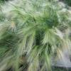 หญ้าประดับ หางกระรอก 10 เมล็ด/ชุด