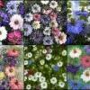 ดอก รักในสายหมอก 10 เมล็ด/ชุด