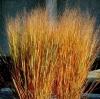 หญ้าประดับ ดาโคต้า สวิชท์ 10 เมล็ด/ชุด