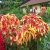 ผักโขมประดับ 3 สี - Tricolor Amaranthus Perfecta