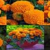 ดาวเรืองอเมริกันสีส้ม 10เมล็ด/ชุด