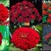 ดอกบานชื่นสีแดง 15 เมล็ด/ชุด