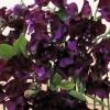ดอกสวีทพี ออลโมสท์ แบล็ค 3 เมล็ด/ชุด