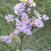 ดอกคัตเตอร์ สีฟ้า - Blue Cutter