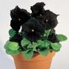 ดอกแพนซี่ สีดำ ซองละ 10 เมล็ด