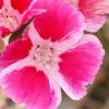 ดอกไฟร์เวล - Farewell TO Spring Flower