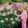 ดอกสไปเดอร์ คละสี - Mixed SPIDER FLOWER