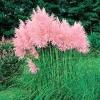 หญ้าขนไก่ สีชมพู - Pink Pampas Grass