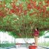 (Big Pack) มะเขือเทศต้นอิตาเลี่ยน - Italian Tree Tomato