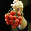 มะเขือเทศปริ้นซิพ - Principe Borghese Tomato
