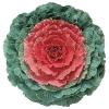 ปูเล่ประดับ สีแดง - Red Flowering Kale F1