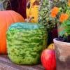 น้ำเต้าแอปเปิ้ล - Big Apple Gourd