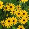 ดอกแบล็คอายซูซาน - Black Eyed Susan Flower