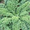 ผักคะน้าเคลไซบีเรียน - Siberian Dwarf Kale