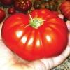 (Big Pack) มะเขือเทศบีฟสเต็ก - Beefsteak tomato