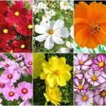ชุดรวมดอกดาวกระจาย 6 สี - Cosmos Collection