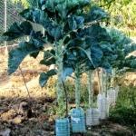คะน้าต้นสูง - Portuguesa Kale Tree
