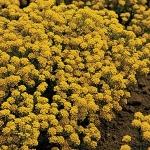 ดอกอลิซซั่ม สีเหลืองทอง 30เมล็ด/ชุด