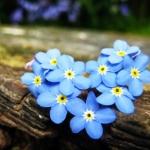 ดอกอย่าลืมฉัน - Forget Me Not Flower