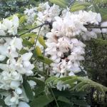 ต้นแบล็ค โลคัส 10 เมล็ด/ชุด