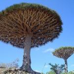 ต้นจันผา เลือดมังกร - Dragons Blood Tree