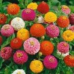 บานชื่น ลิลลิพุท คละสี - Mixed Lilliput zinnia flower