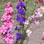 ดอกล็อคเก็ต ลาร์คสพอร์ คละสี - Mixed Rocket Larkspur Flower