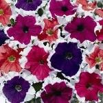 ดอกพิทูเนียฟรอสท์คละสี 20เมล็ด/ชุด